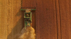 A combine harvesting grain in a field